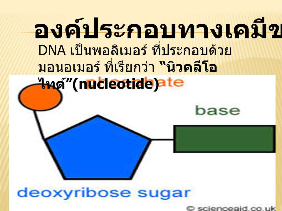 องค์ประกอบทางเคมีของ DNA