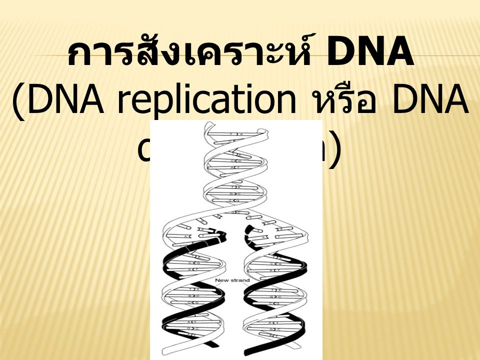 (DNA replication หรือ DNA duplication)
