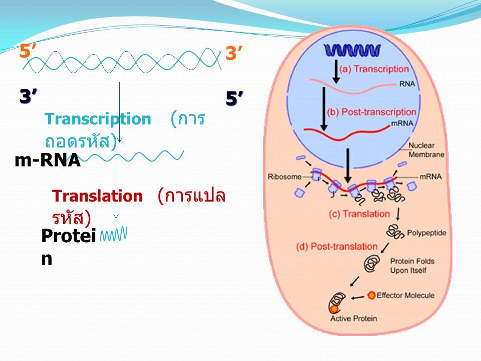 5' 3' m-RNA Protein Transcription (การถอดรหัส)