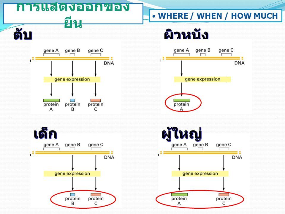 การแสดงออกของยีน WHERE / WHEN / HOW MUCH ตับ ผิวหนัง เด็ก ผู้ใหญ่