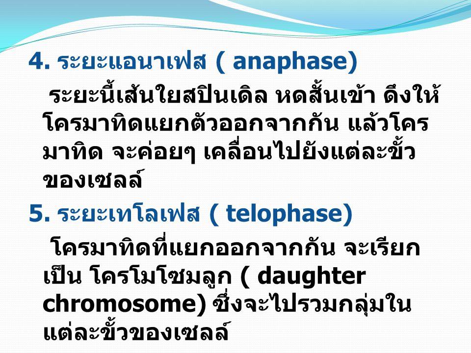 4. ระยะแอนาเฟส ( anaphase)