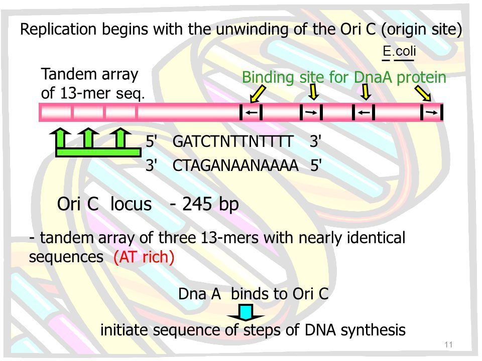 Replication begins with the unwinding of the Ori C (origin site)