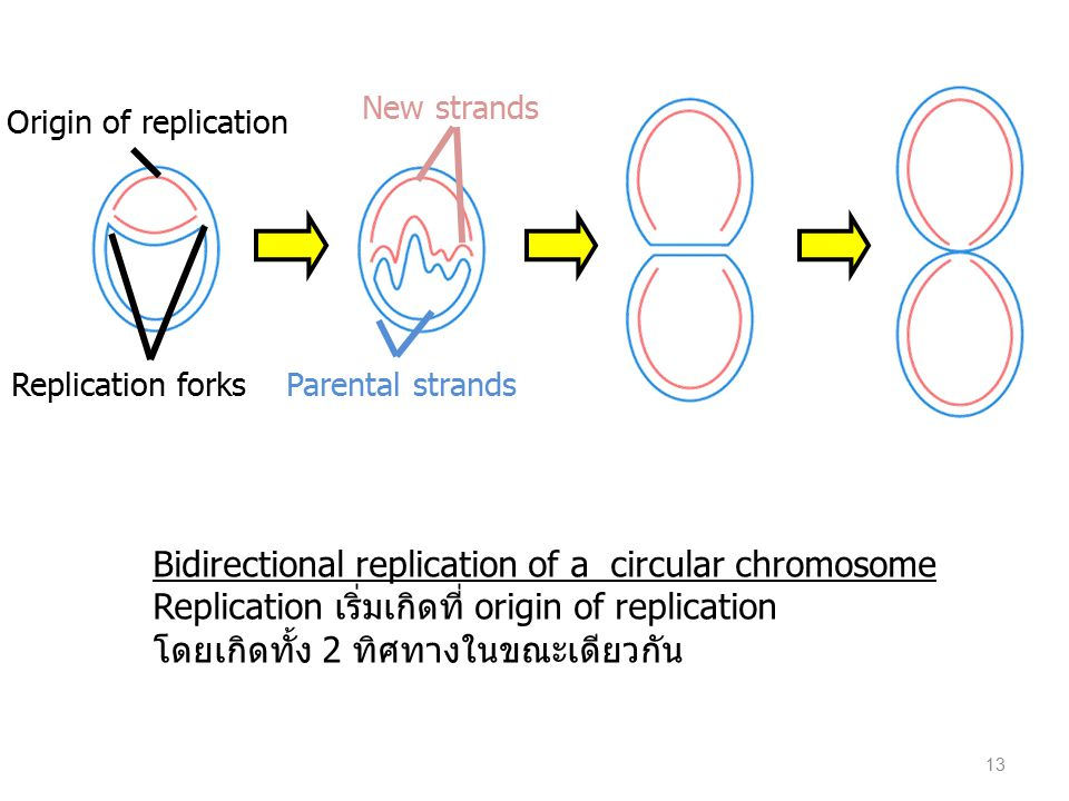 New strands Origin of replication. Replication forks. Parental strands.