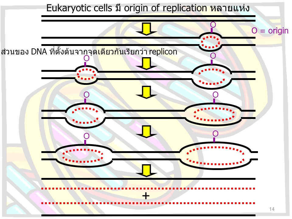 + Eukaryotic cells มี origin of replication หลายแห่ง O O = origin