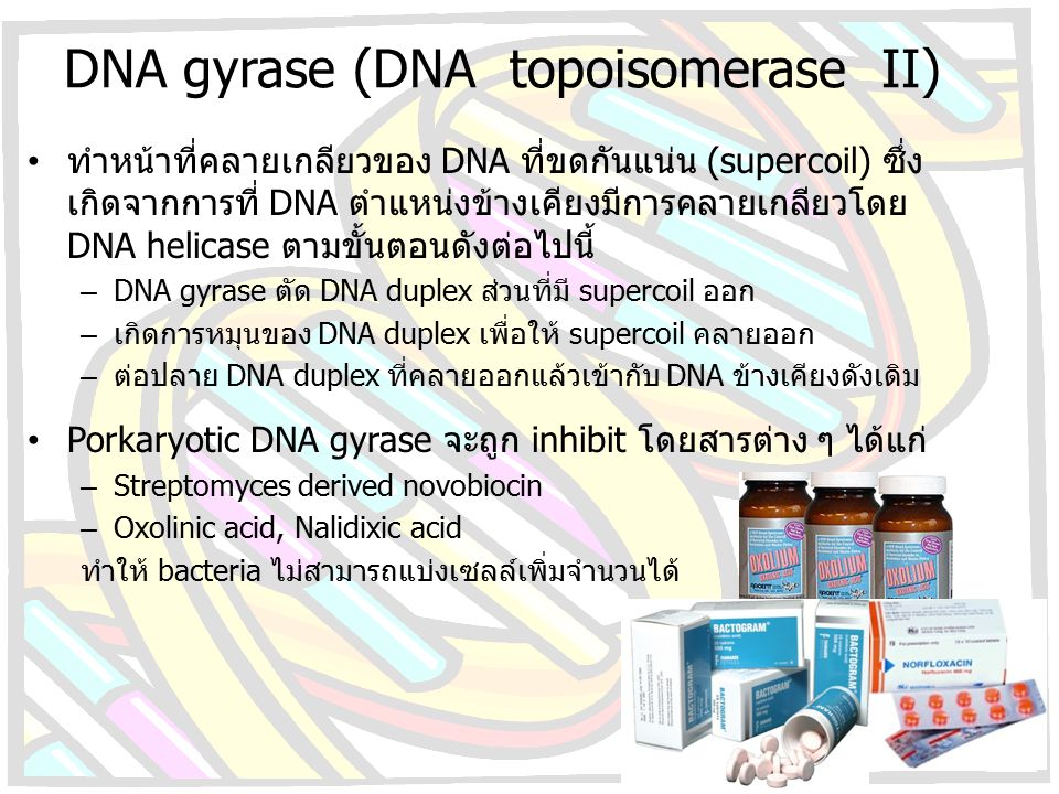 DNA gyrase (DNA topoisomerase II)
