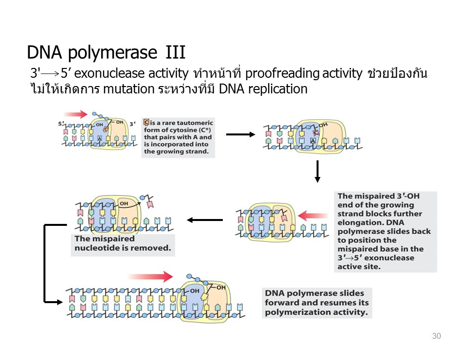 DNA polymerase III 3 5' exonuclease activity ทำหน้าที่ proofreading activity ช่วยป้องกันไม่ให้เกิดการ mutation ระหว่างที่มี DNA replication.