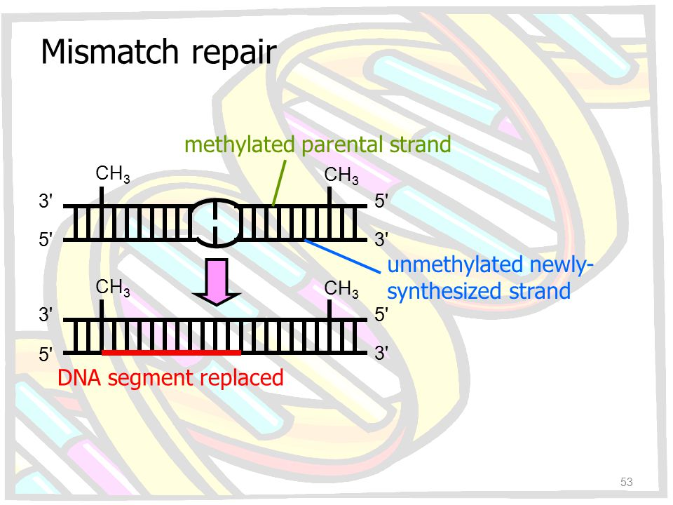 Mismatch repair methylated parental strand