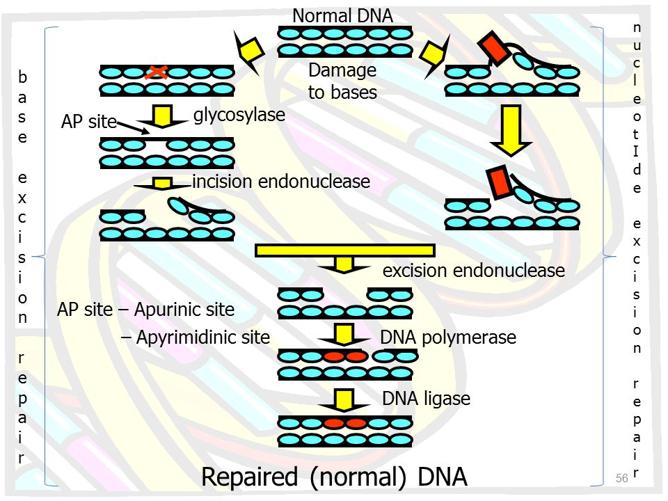 Repaired (normal) DNA Normal DNA Damage to bases glycosylase AP site