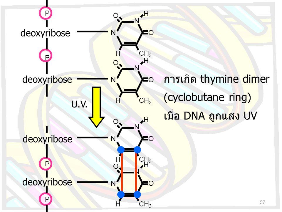 การเกิด thymine dimer (cyclobutane ring) เมื่อ DNA ถูกแสง UV