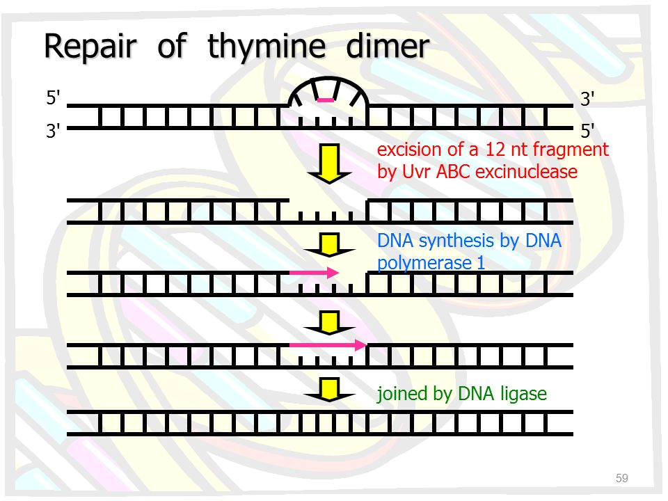 Repair of thymine dimer