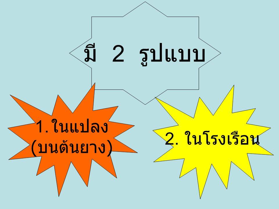 มี 2 รูปแบบ ในแปลง (บนต้นยาง) 2. ในโรงเรือน