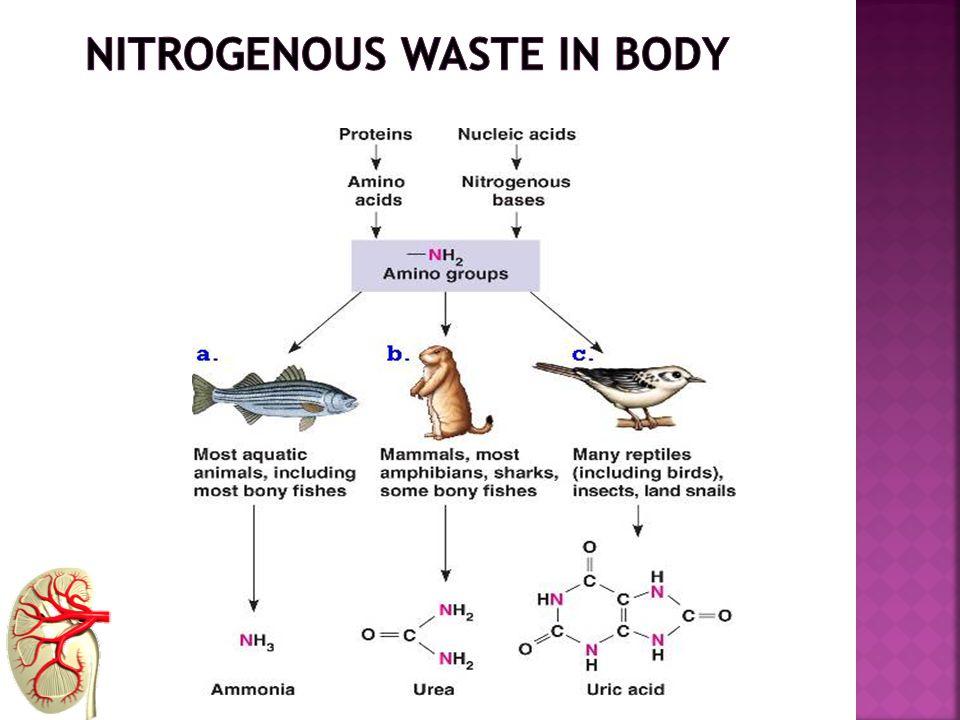 nitrogenous waste in body