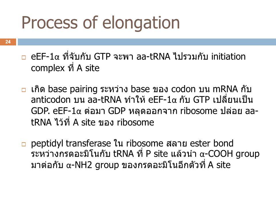 Process of elongation eEF-1α ที่จับกับ GTP จะพา aa-tRNA ไปรวมกับ initiation complex ที่ A site.
