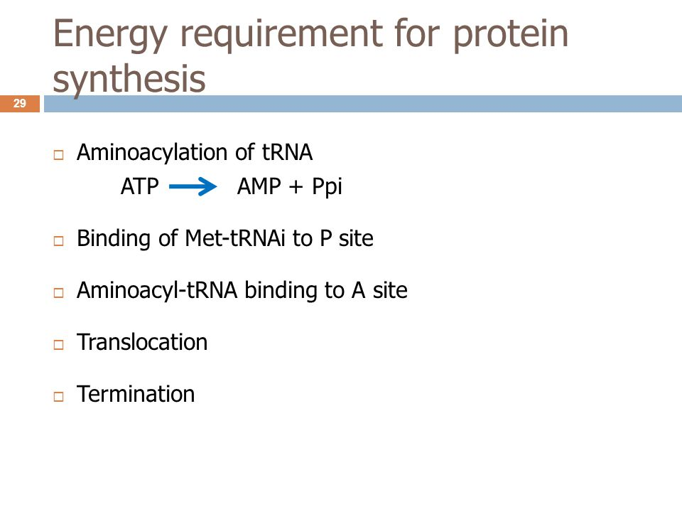 Energy requirement for protein synthesis