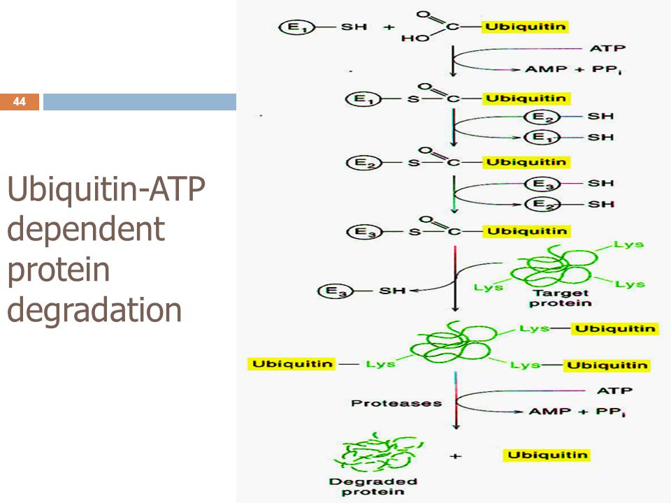 Ubiquitin-ATP dependent protein degradation