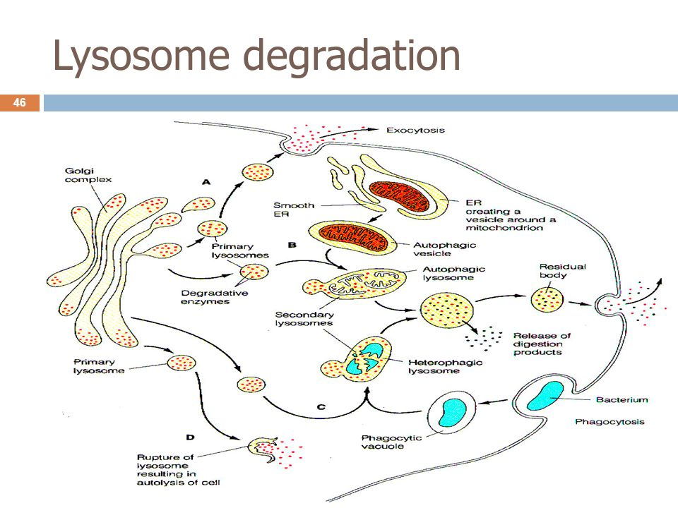 Lysosome degradation