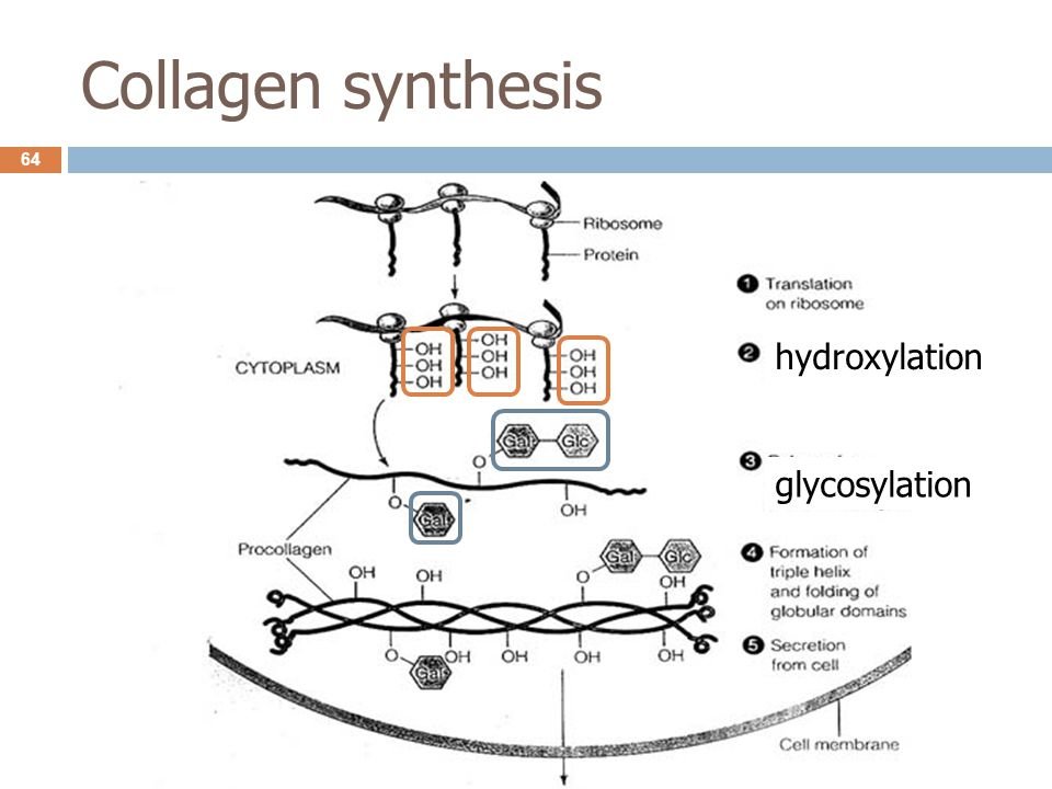 Collagen synthesis hydroxylation glycosylation