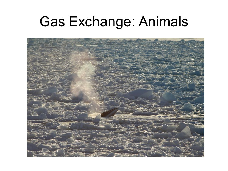 Gas Exchange: Animals