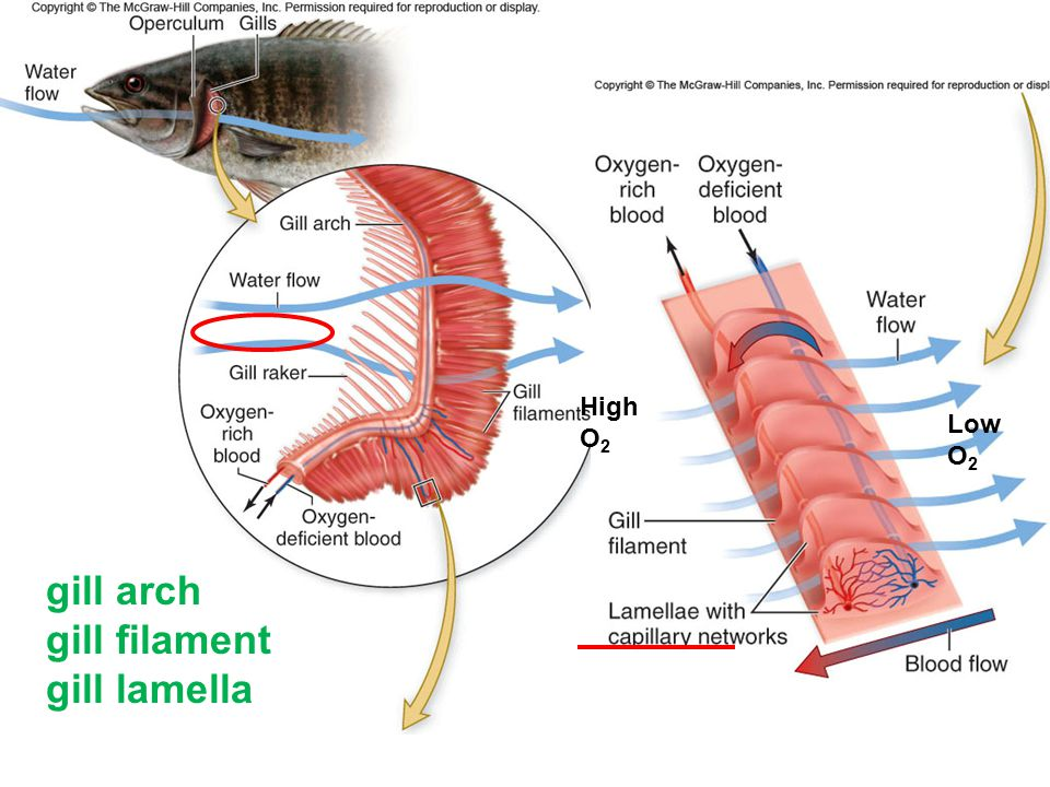 High O2 Low O2 gill arch gill filament gill lamella