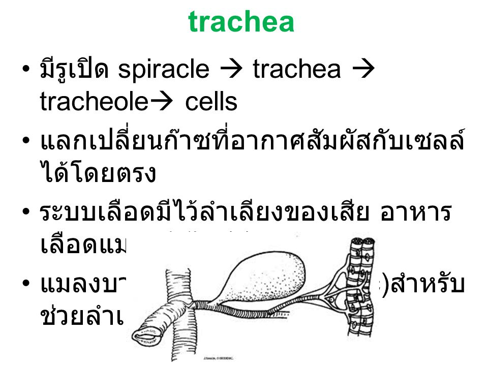trachea มีรูเปิด spiracle  trachea  tracheole cells
