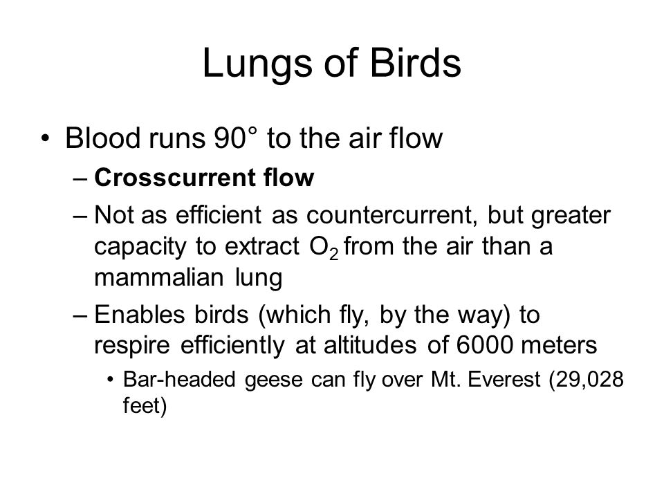 Lungs of Birds Blood runs 90° to the air flow Crosscurrent flow