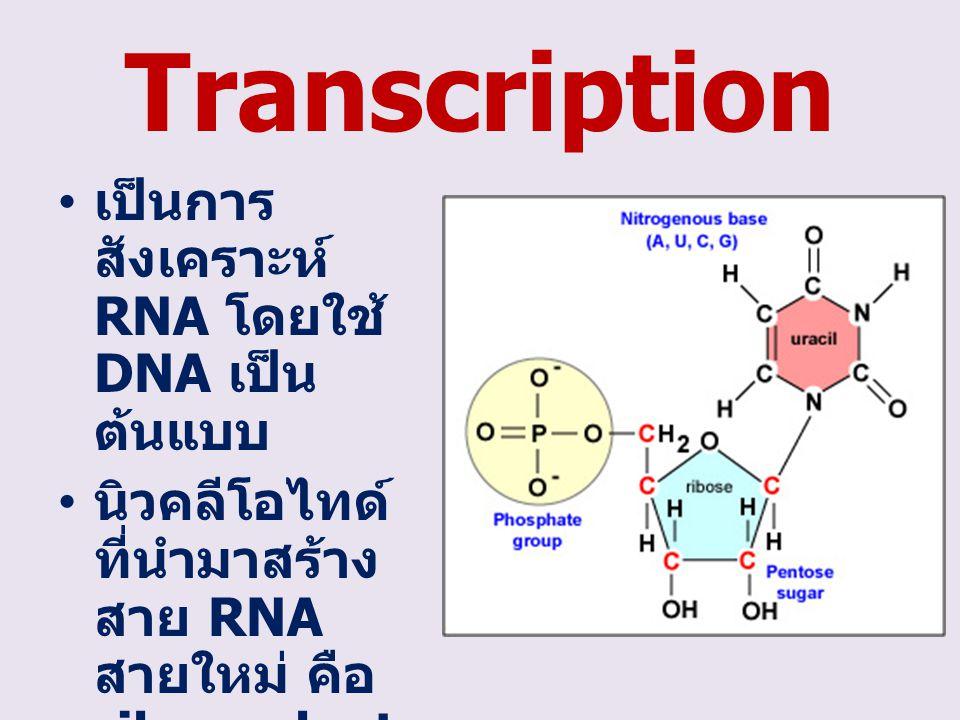 Transcription เป็นการสังเคราะห์ RNA โดยใช้ DNA เป็นต้นแบบ