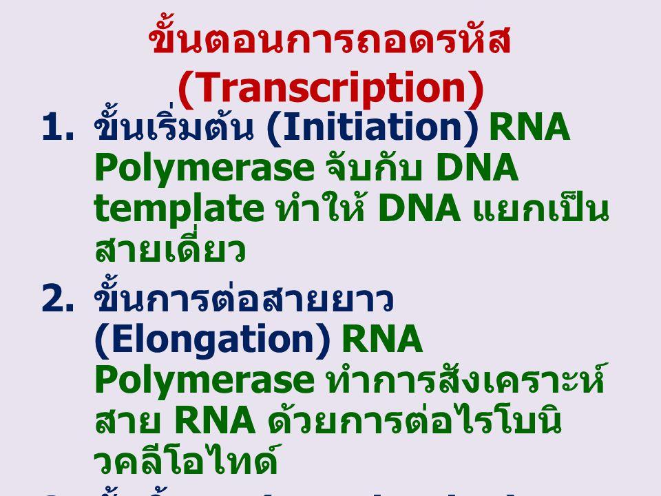 ขั้นตอนการถอดรหัส (Transcription)