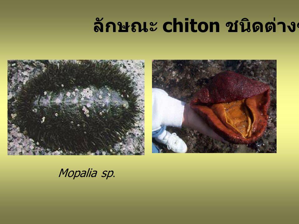 ลักษณะ chiton ชนิดต่างๆ