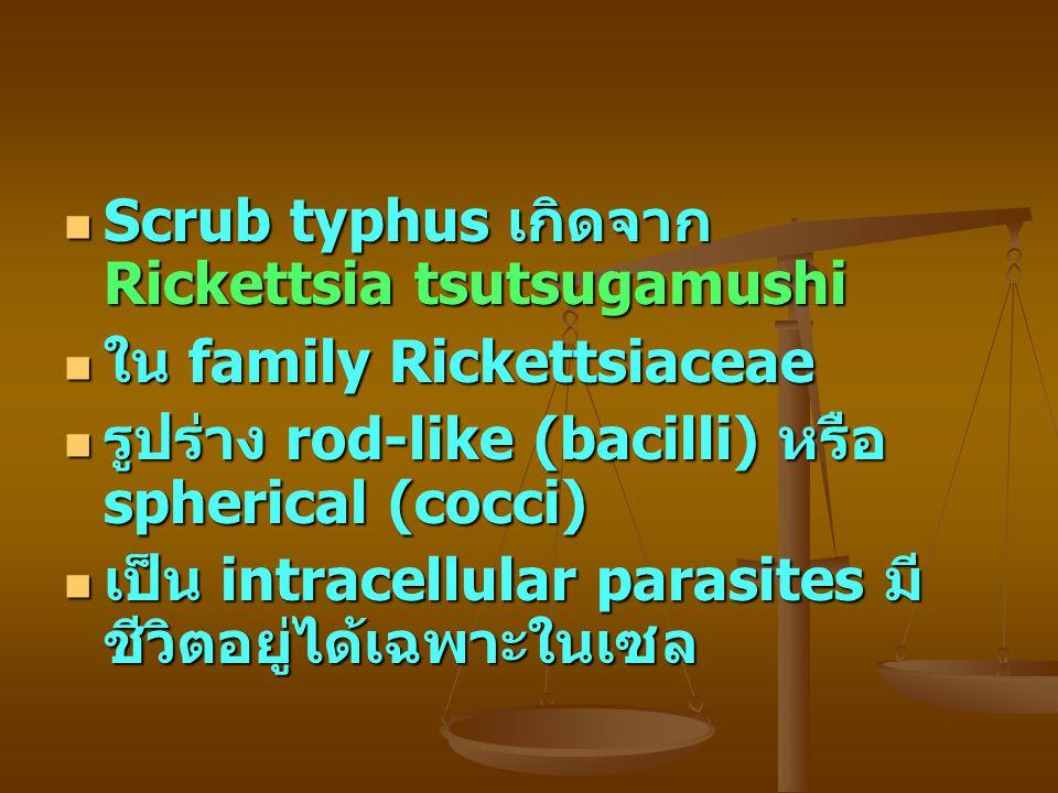 Scrub typhus เกิดจาก Rickettsia tsutsugamushi