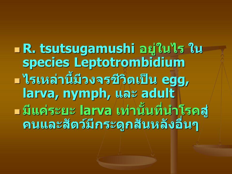 R. tsutsugamushi อยู่ในไร ใน species Leptotrombidium
