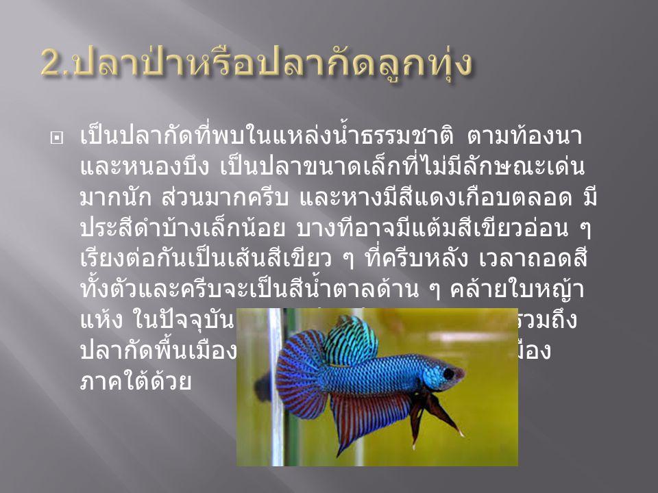 2.ปลาป่าหรือปลากัดลูกทุ่ง