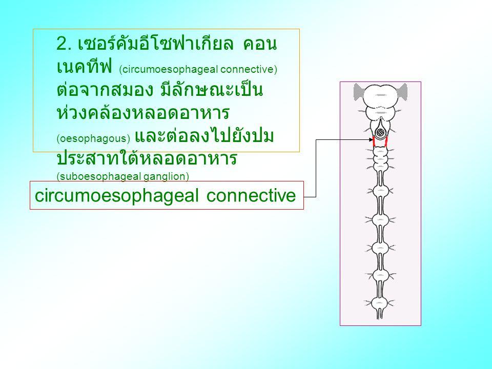 2. เซอร์คัมอีโซฟาเกียล คอนเนคทีฟ (circumoesophageal connective) ต่อจากสมอง มีลักษณะเป็นห่วงคล้องหลอดอาหาร (oesophagous) และต่อลงไปยังปมประสาทใต้หลอดอาหาร (suboesophageal ganglion)