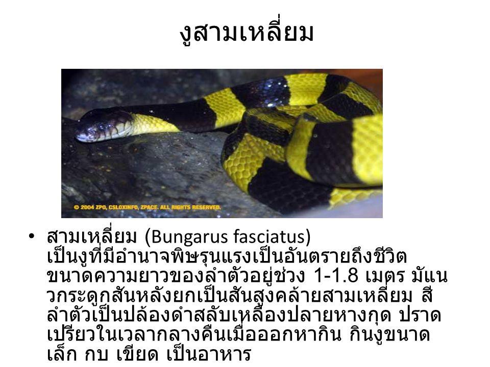 งูสามเหลี่ยม