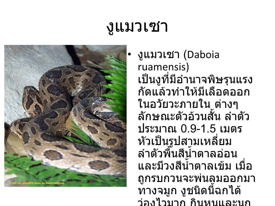 งูแมวเซา
