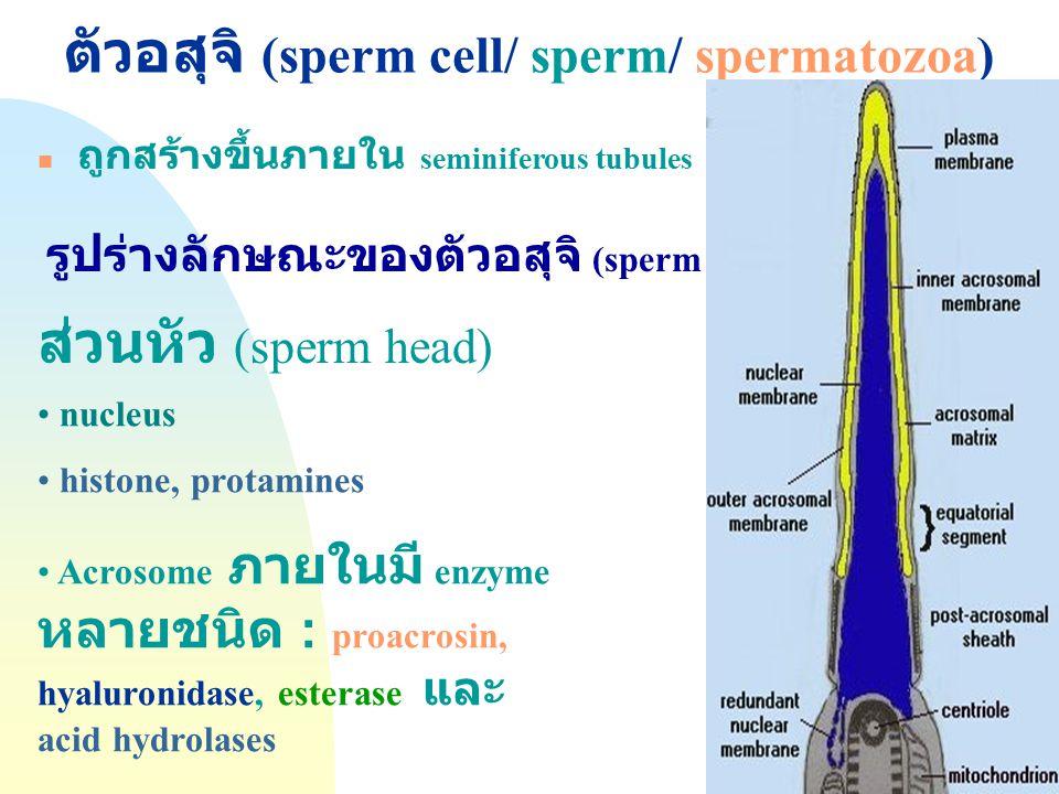ตัวอสุจิ (sperm cell/ sperm/ spermatozoa)