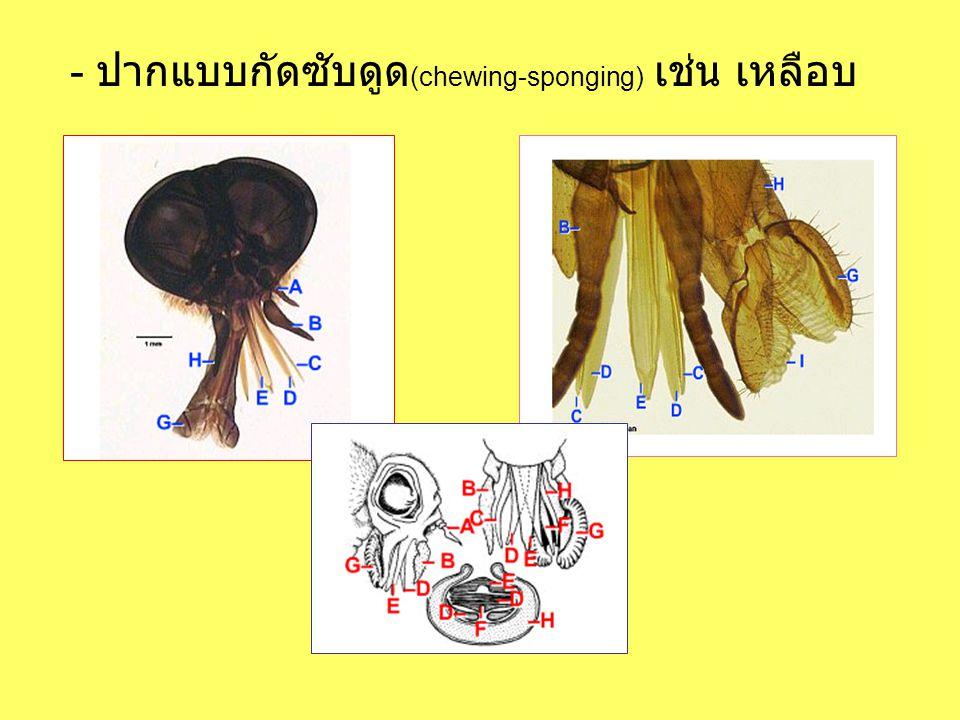 - ปากแบบกัดซับดูด(chewing-sponging) เช่น เหลือบ