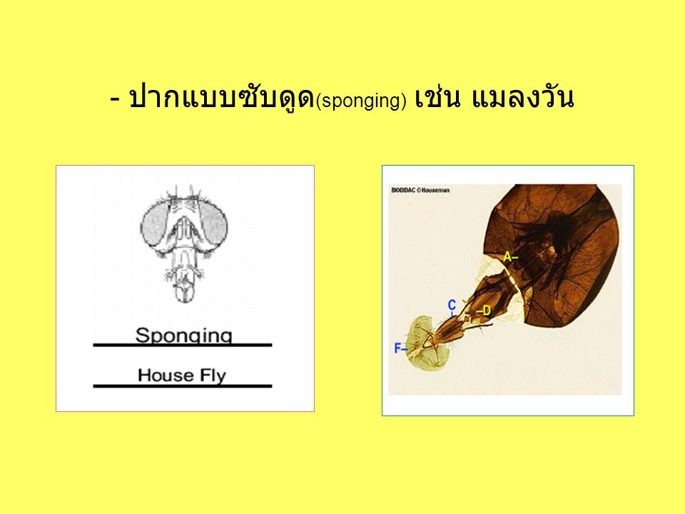 - ปากแบบซับดูด(sponging) เช่น แมลงวัน