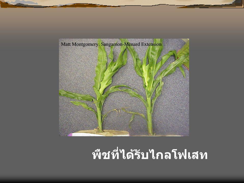 พืชที่ได้รับไกลโฟเสท