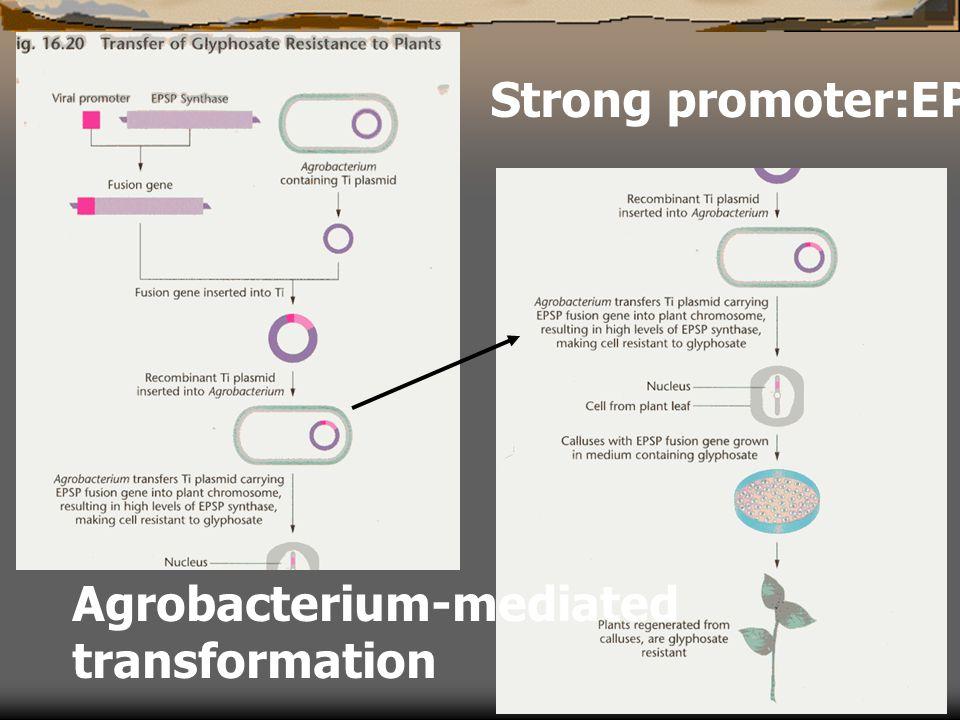 Strong promoter:EPSPS gene