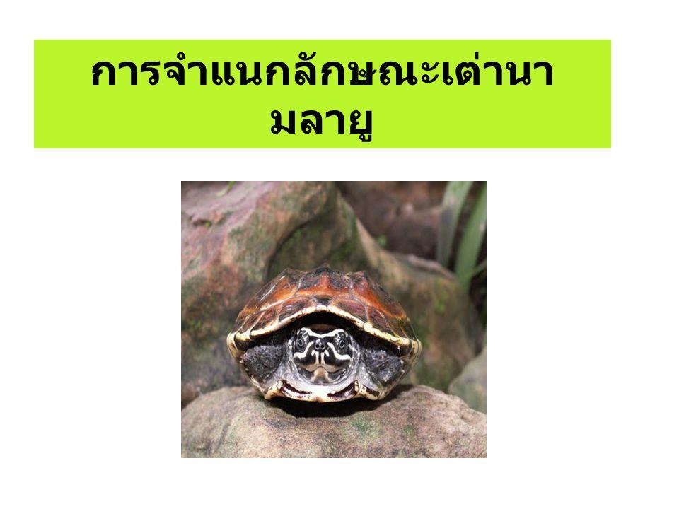 การจำแนกลักษณะเต่านามลายู