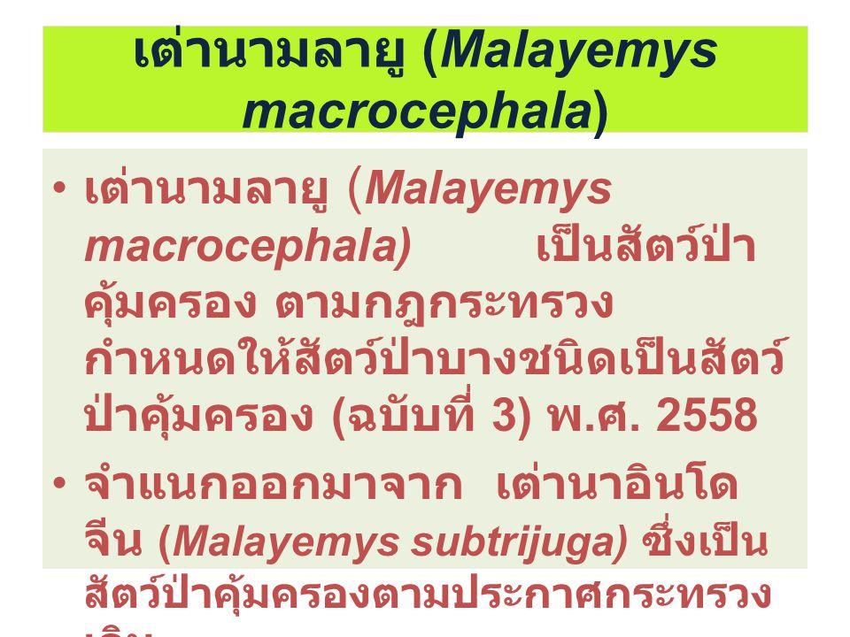 เต่านามลายู (Malayemys macrocephala)