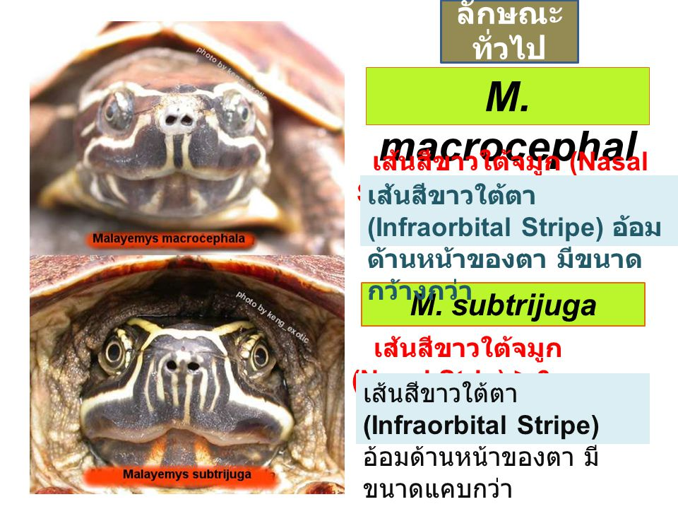 M. macrocephala ลักษณะทั่วไป M. subtrijuga