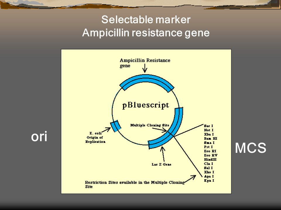 Ampicillin resistance gene