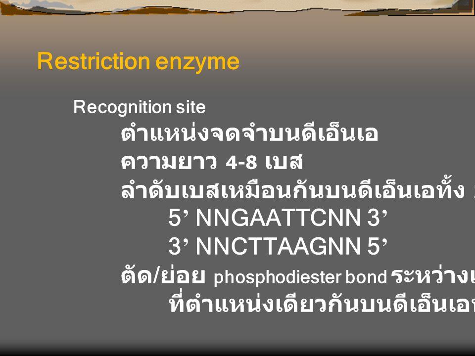 ลำดับเบสเหมือนกันบนดีเอ็นเอทั้ง 2 เส้น 5' NNGAATTCNN 3'