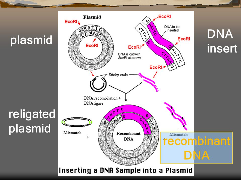 DNA insert plasmid religated plasmid recombinant DNA