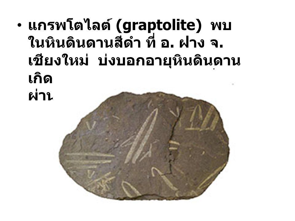 แกรพโตไลต์ (graptolite) พบในหินดินดานสีดำ ที่ อ. ฝาง จ