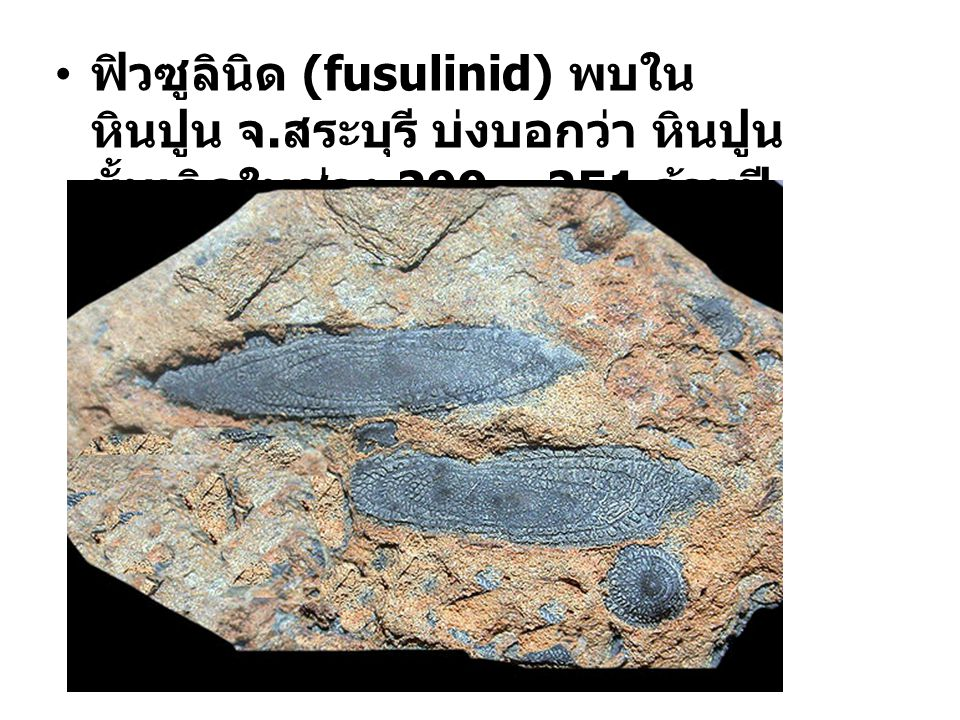 ฟิวซูลินิด (fusulinid) พบในหินปูน จ