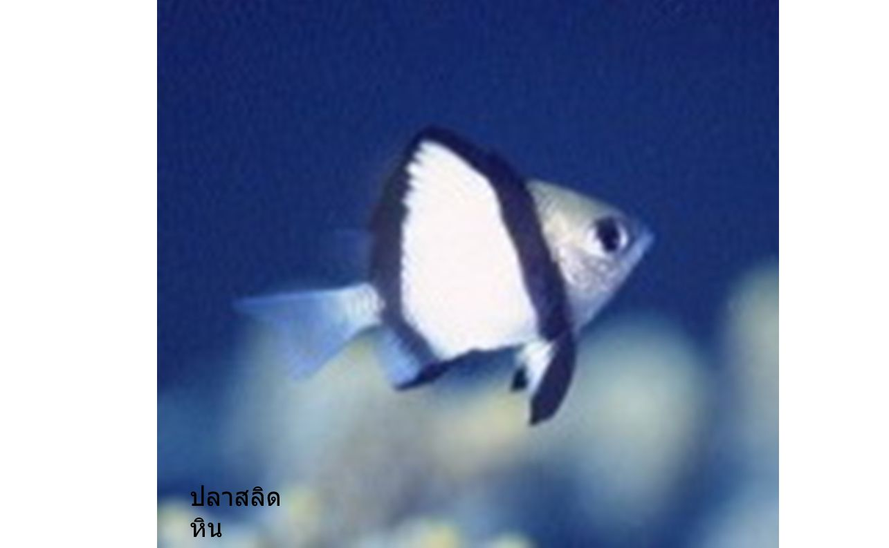 ปลาสลิดหิน ปลาสลิดหิน