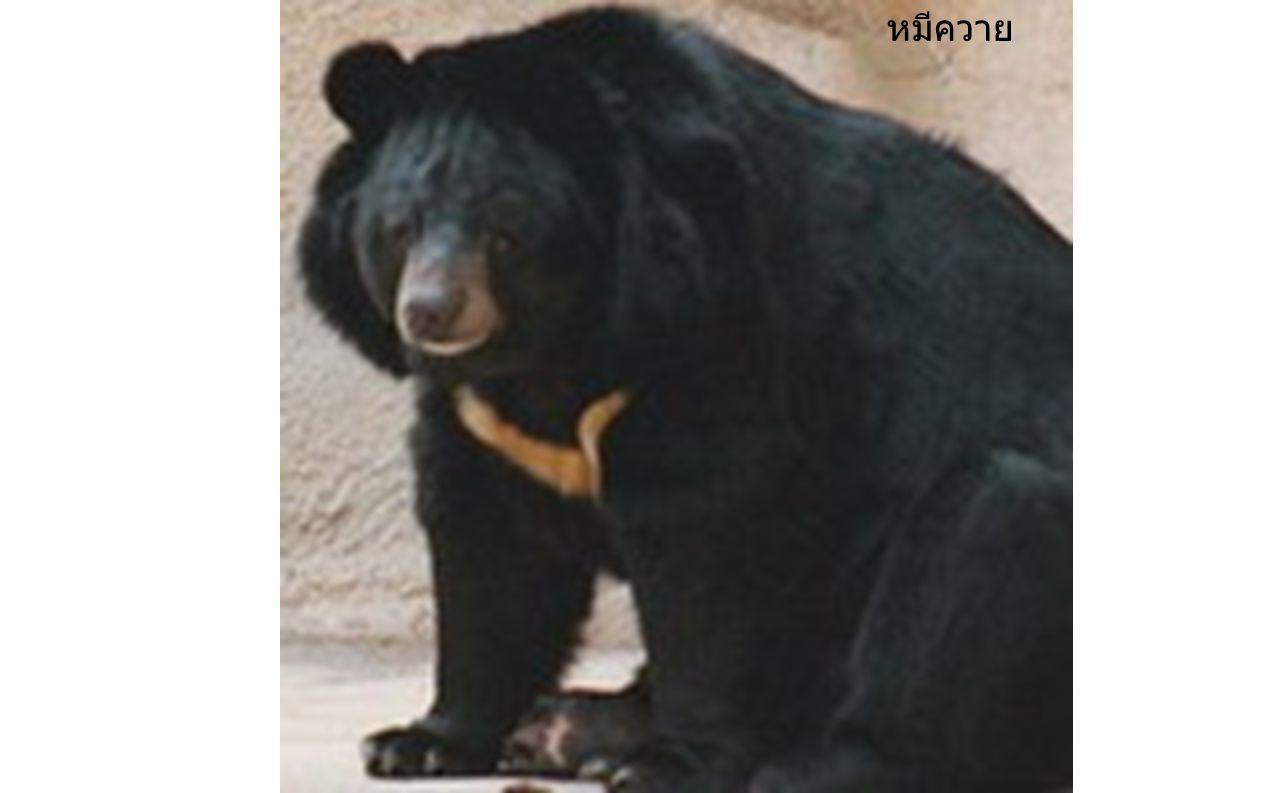 หมีควาย หมีควาย