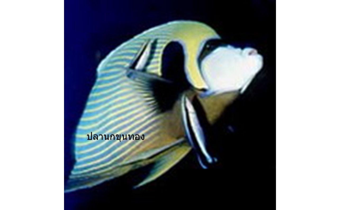 ปลานกขุนทอง ปลานกขุนทอง